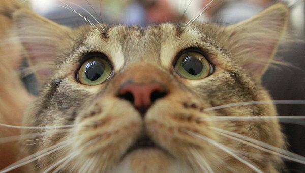 Кошка породы мейн-кун. Архив