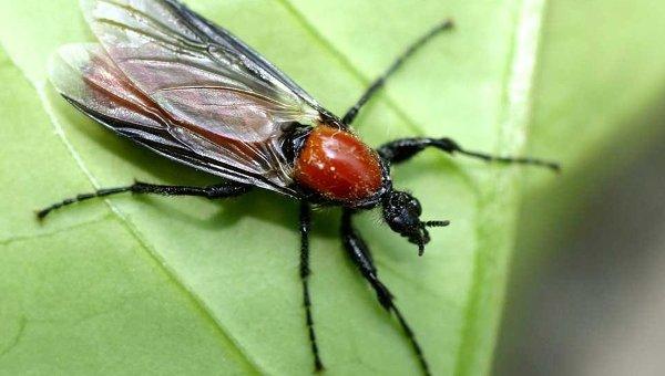 Комар-толстоножка
