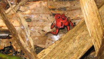 Лягушки-древолазы, обитающие на ветвях деревьев в тропических лесах Коста-Рики