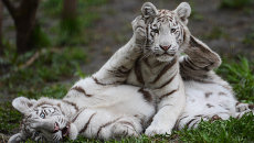 Белые тигрята, детеныши белого тигра Зао и тигрицы Зайка, в вольере Новосибирского зоопарка