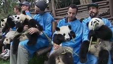 Детеныши панды на руках у Backstreet Boys ели бамбук и слушали песенку