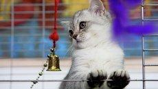 Выставка кошек в Новосибирске: египетская мау и американские селкирки