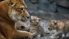 Лигрица впервые показала троих детенышей гостям Новосибирского зоопарка