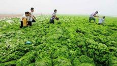 Зеленые водоросли на побережье в Циндао, Китай