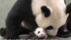 Мама-панда впервые покормила своего детеныша, рожденного в результате ЭКО