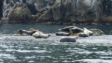 Ларги на лежбище в Дальневосточном морском биосферном заповеднике. Архивное фото