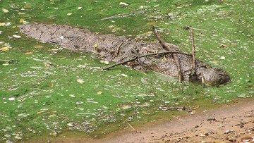 Крокодил, приманивающий птиц на веточки, архивное фото