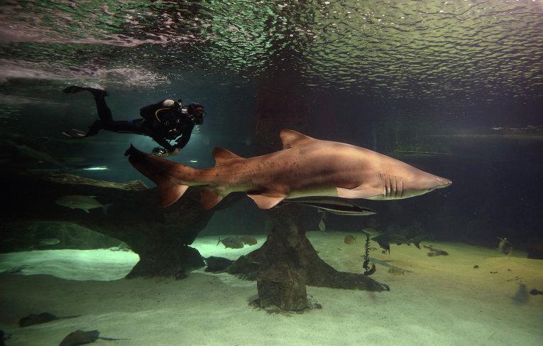 Драйвер плавает в аквариуме вместе с тигровой акулой