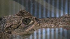 Свадьба кайманов в Самаре: маленьких крокодильчиков ожидают к весне