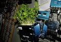 "Капуста ""Мизуна"" растет на борту МКС. Архивное фото"