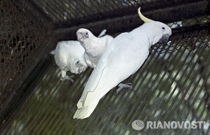 Попугаи Какаду в клетке-вольере Московского зоопарка